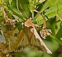 MothCornEarworm_Helicoverpa_zea09122016_GS_ - Helicoverpa zea