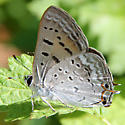 Which Lycaenidae is this? - Lycaena arota