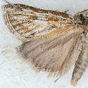 Moth for ID - Hemiplatytes epia - male