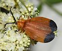 Net-winged Beetle - Lycus arizonensis