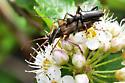 Lepturinae M&F like Gnathacmaeops  pratensis - male - female