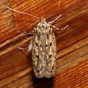 Brown House Moth - Hofmannophila pseudospretella