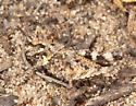 Cristate Grasshopper 4th Instar - Conozoa texana