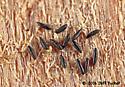 Aedes albopictus - eggs - Aedes albopictus