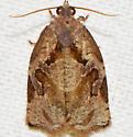 Archips grisea
