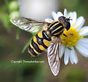 Syrphid Fly - Helophilus