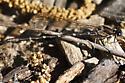 Dancer (Argia sp.: Coenagrionidae) - Argia sedula