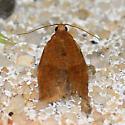 Rose Tortrix Moth - Archips rosana
