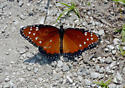 Tropic Queen (Danaus eresimus) ? - Danaus gilippus - female