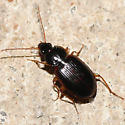 Ground beetle - Olisthopus