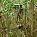 Russet-tipped Clubtails in a wheel - Stylurus plagiatus - male - female