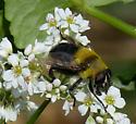 Syrphid fly species? - Mallota bautias