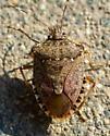Bug in backyard  - Halyomorpha halys