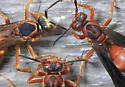 Wasps? - Polistes rubiginosus