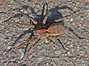 Large wolf spider? - Gladicosa gulosa