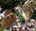 Butterfly on oregano  - Junonia coenia