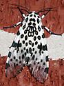 Giant Leopard Moth - Hodges#8146 (Hypercompe scribonia) - Hypercompe scribonia