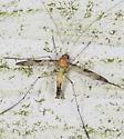 Crane fly sp.  - Macrocera - male
