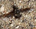 Bee Fly - Triploechus novus