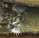 Cassidini on bindweed. Hinged mechanism of the pupa - Charidotella sexpunctata