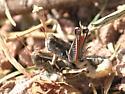 Melanoplus aridus? - Melanoplus lakinus - male - female