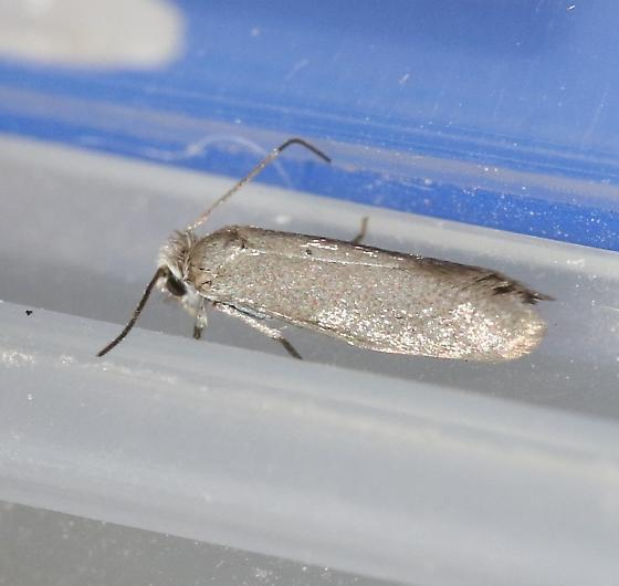 Prodoxus cinereus - Prodoxus