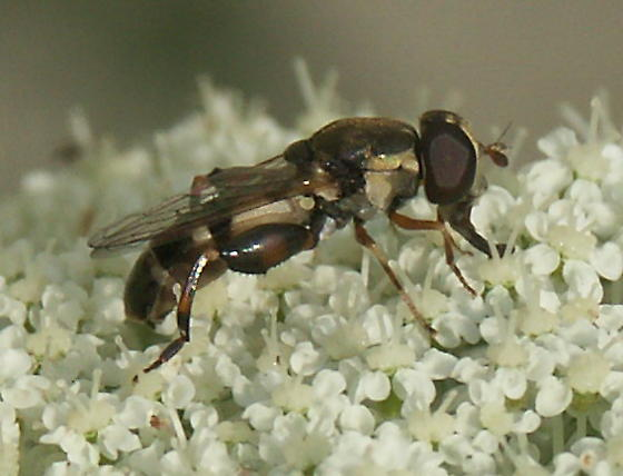 Fly on Queen Ann's Lace - Syritta pipiens