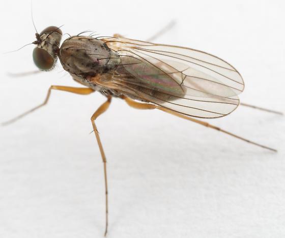 fly - Medetera - female