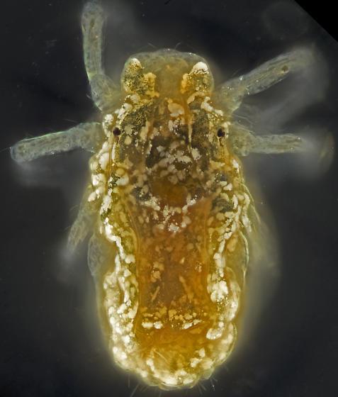 Rock lichen mite, dorsal, slide mounted