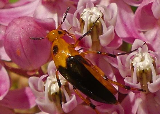 Yellow and black beetle - Macrosiagon limbata