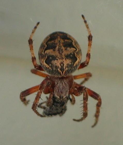 Orb Weaver - Larinioides patagiatus