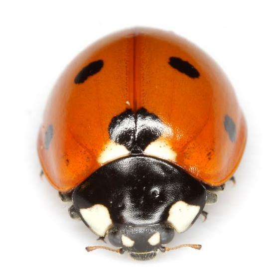 Coccinella septempunctata Linnaeus - Coccinella septempunctata