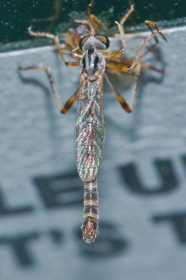 Leptogaster virgata for Louisiana - Leptogaster virgata - male