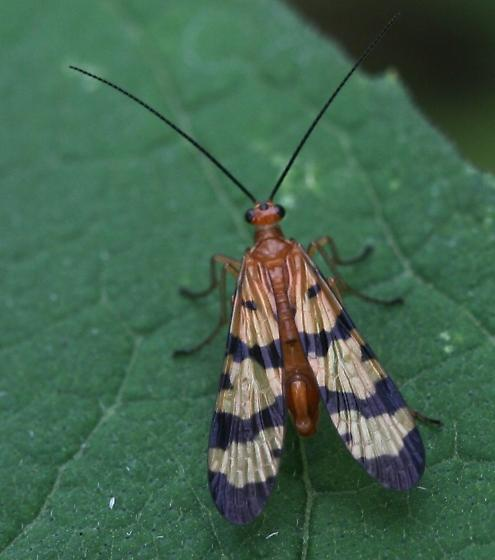 Scorpion  Fly (Panorpa nuptialis?) - Panorpa - male