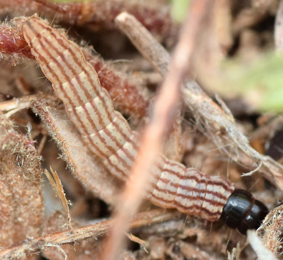 11 mm gelechiidid caterpillar