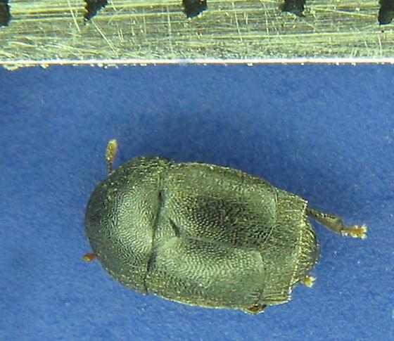 2.4mm short elytra - Brachypterolus pulicarius