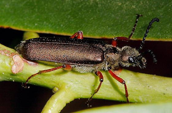Beetle? - Lytta aenea