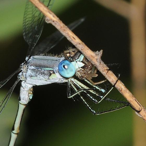 Lyre-tipped Spreadwing - Lestes unguiculatus  - Lestes unguiculatus - male