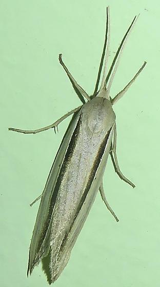 Dull Doryodes Moth - Doryodes spadaria
