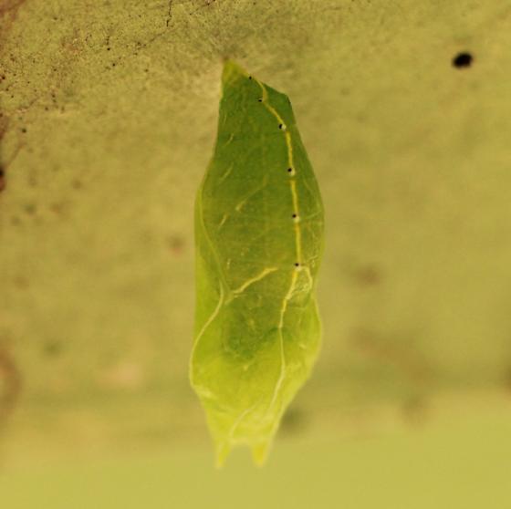Green Chrysalis/Pupa - Dorsal? - Asterocampa celtis