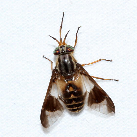 Chrysops callidus? - Chrysops