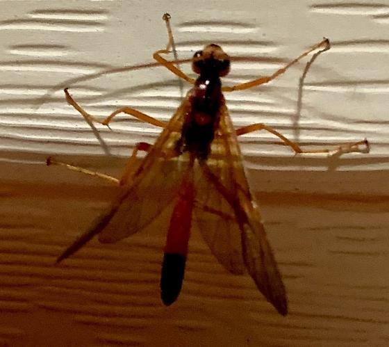 Ichneumonoidea? - Opheltes glaucopterus