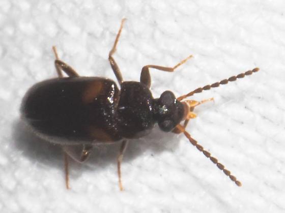 Doubly marked beetle - Mycetochara