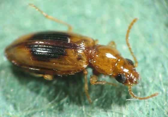 ink dot small carabid - Pericompsus ephippiatus