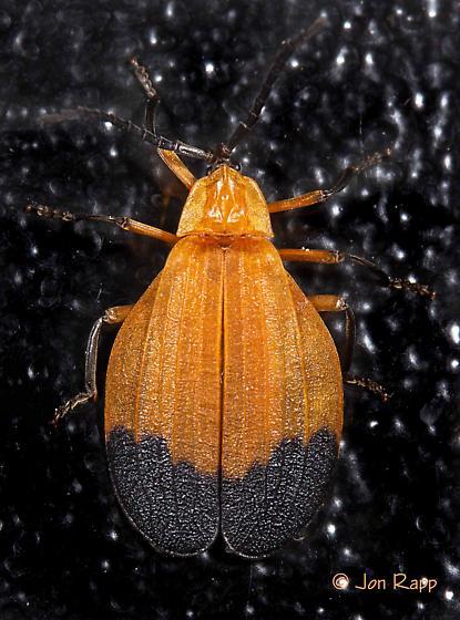 Net-winged Beetle - Lycus fernandezi