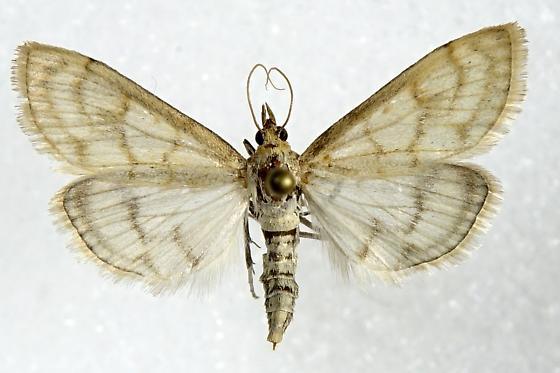 Paracorsia repandalis - female