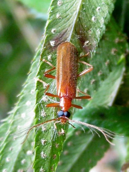 fire-colored beetle - Dendroides ephemeroides - male