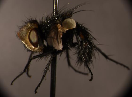 Tachinidae? - Gonia