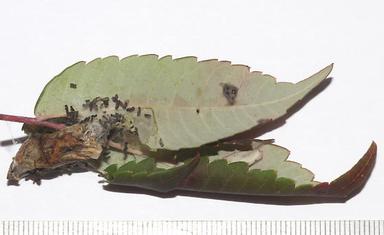 Pyralidae, Striped Sumac Leafroller, herbivory  - Sciota subfuscella