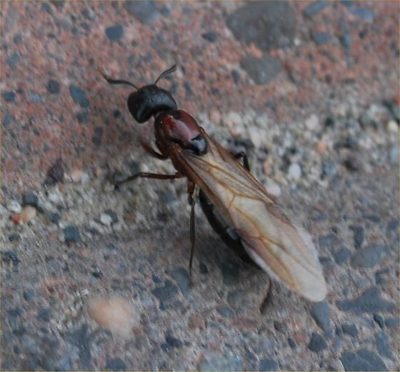 Neat guy 2 - Camponotus novaeboracensis